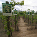 Producción de vinos